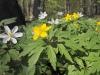 anemonen.jpg