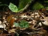 buchenkeimling-fagus-sylvatica-1.jpg
