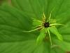 einbeere-paris-quadrifolia.jpg