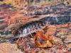 oniscus-assellus-1.jpg