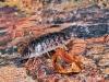 oniscus-assellus-1_0.jpg