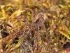 pardosa-lugubris-weibchen-1.jpg