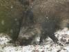 wildschwein4.jpg