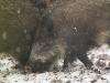 wildschwein4_0.jpg