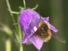 wollschweber-an-glockenblume.jpg